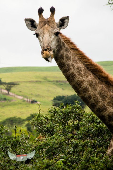 Vrijwilligerswerk Zuid Afrika - Volunteer South Africa - Safari - Game drive-17