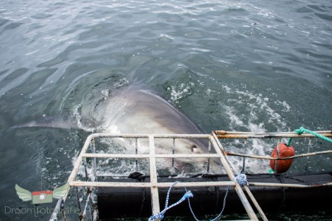Vrijwilligerswerk Zuid Afrika - Volunteer South Africa - Kaapstad - Shark cage diving-21